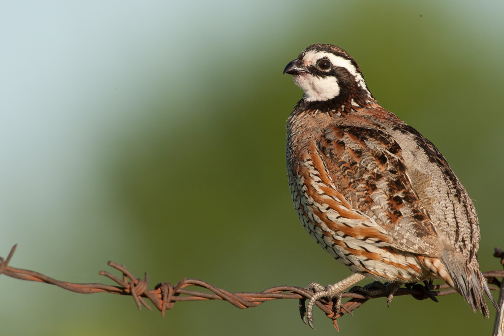 Save the Quail