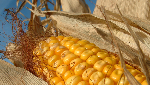 Study Could Lead to Better Corn Plants
