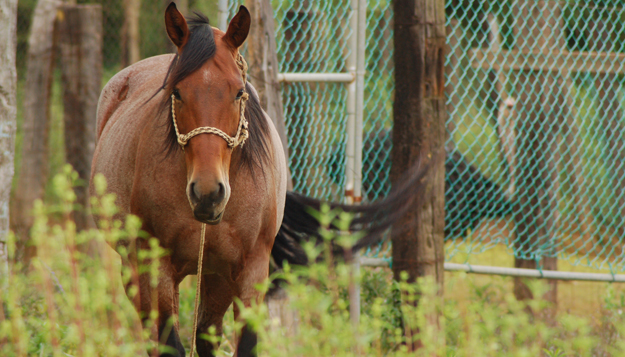 MU Researchers use Motion Sensors to Determine Equine Lameness