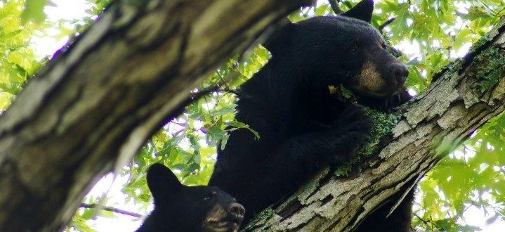Genetic Maps Help Conservation Managers Maintain Healthy Bears