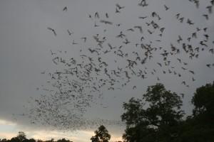 Missouri S&T student team battles disease in bats