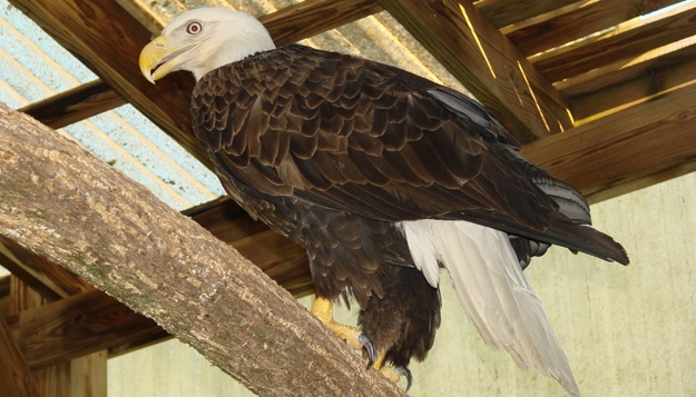 Rehabilitated Bald Eagle Released July 4