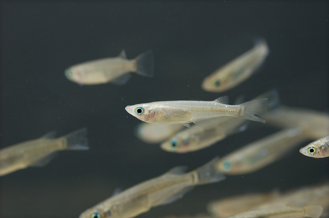 Researchers find fish suffer from effects of BPA