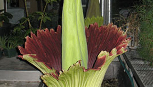 Corpse Flower Makes its Presence Known at UMSL