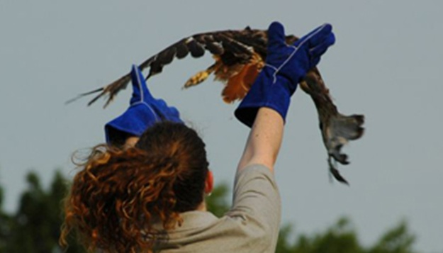 MU's Raptor Rehabilitation Project Releases Bald Eagle