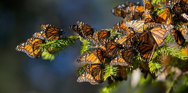 Protecting the Monarch
