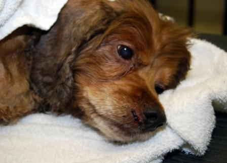 MU Veterinary Team helps Dog Paralyzed in Tornado Walk Again